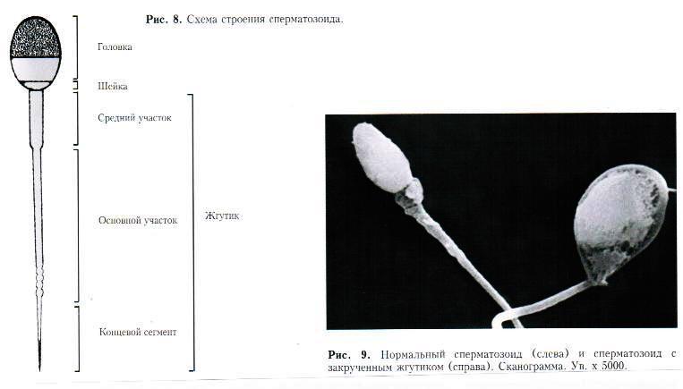 Как правильно сдавать анализ спермограммы